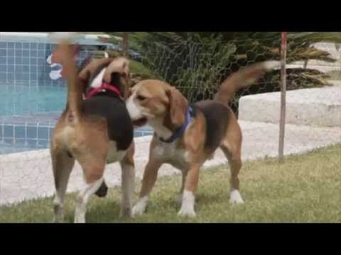 Beagle Freedom Project Viva Las Vegas Rescue How Can I Help