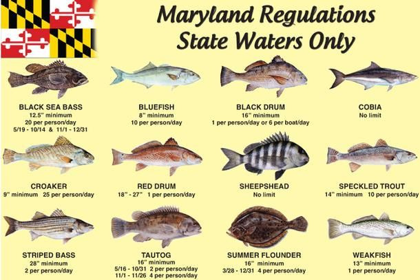 Maryland state fish maryland regulations coastal my for South carolina saltwater fishing regulations