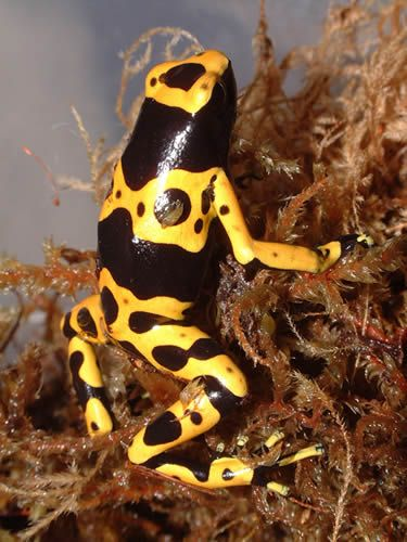 Yellow And Black Poison Arrow Frog Black Frog Reptiles Pet Animals