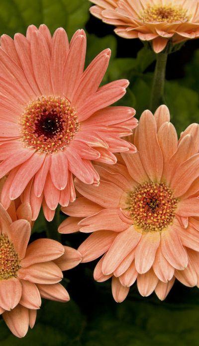 Top 25 Most Beautiful Daisy Flowers Live Dan 330 Pretty Flowers Gerbera Daisy Daisy Flower