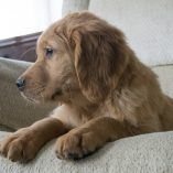 Golden Retriever Puppy For Sale In Kent Oh Adn 57538 On