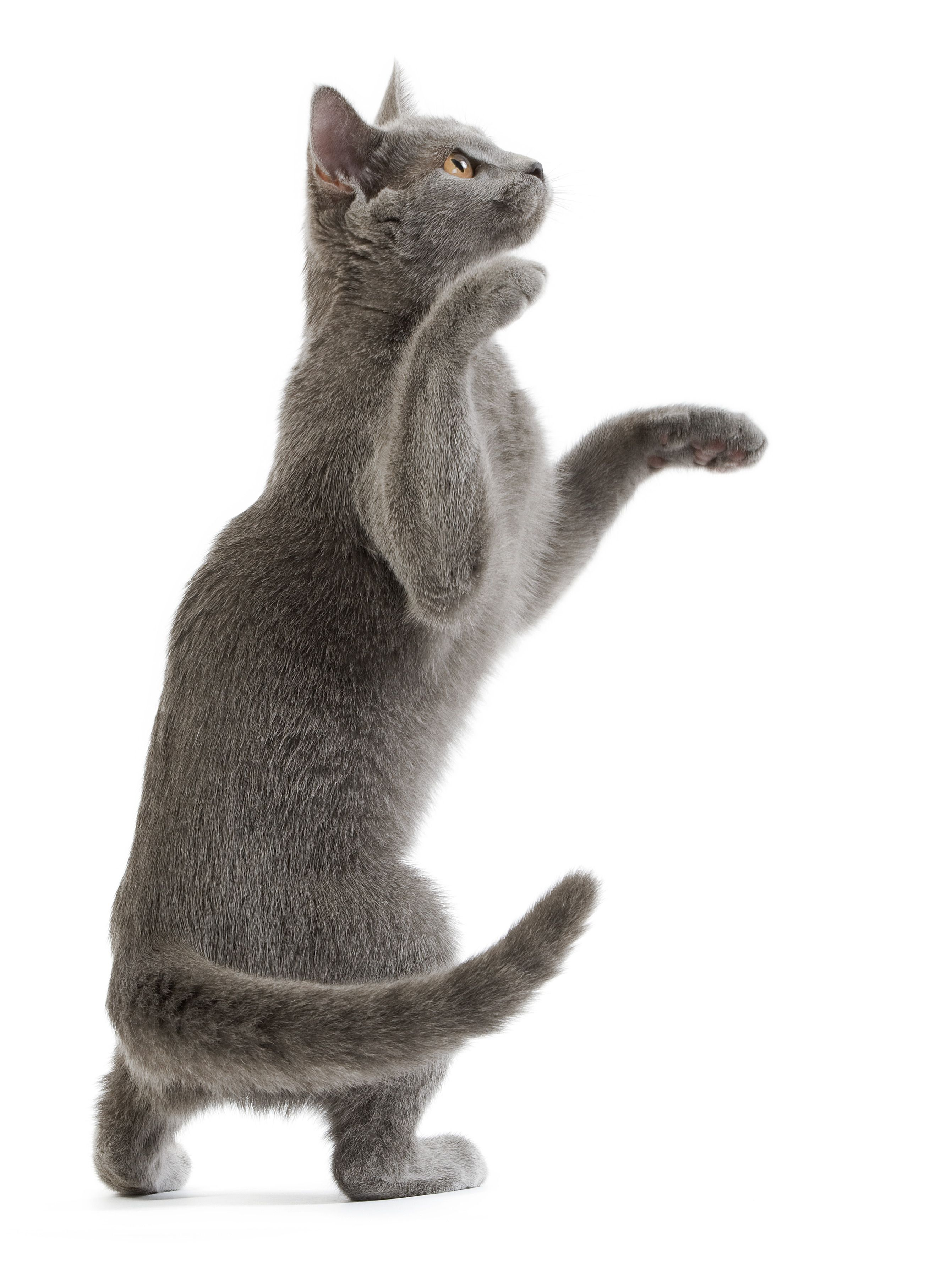 Le Chat Chartreux Chartreux Cat Cats And Kittens Cat Breeds