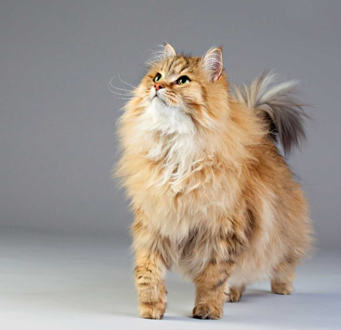 The Siberian Cat Cat Breeds Siberian Forest Cat Cats And Kittens