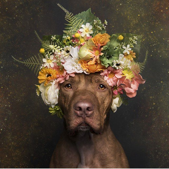 EXHIBITION: POWER FLOWER BY SOPHIE GAMAND Flower Power at Photoville, Brooklyn Bridge Plaza, DUMBO, Brooklyn. 21-25 September 2016. During the event Gamand will also release the 2017 Flower Power calendar! @sophiegamand #PitBullFlowerPower #dogmuse #pitbull #doglife #pitbullrescue