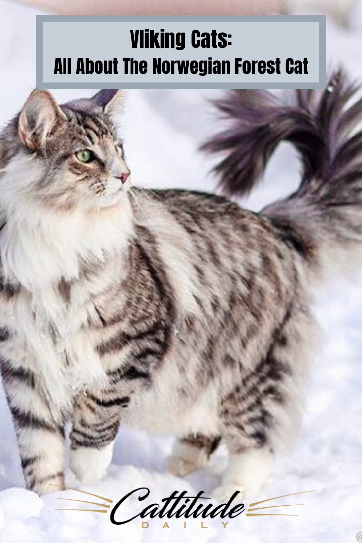 Feline 411 All About Norwegian Forest Cats In 2020 Norwegian Forest Cat Forest Cat Cats