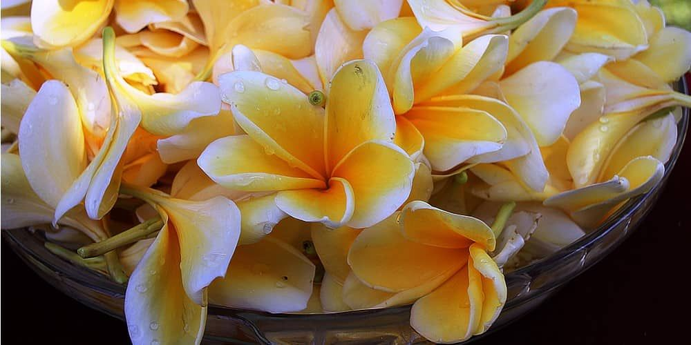 Plumeria Frangipani Essential Oil Vs Absolute Perfumes Tips Facts Essential Bazaar Frangipani Essential Oil Plumeria Perfume Aromatherapy Oils