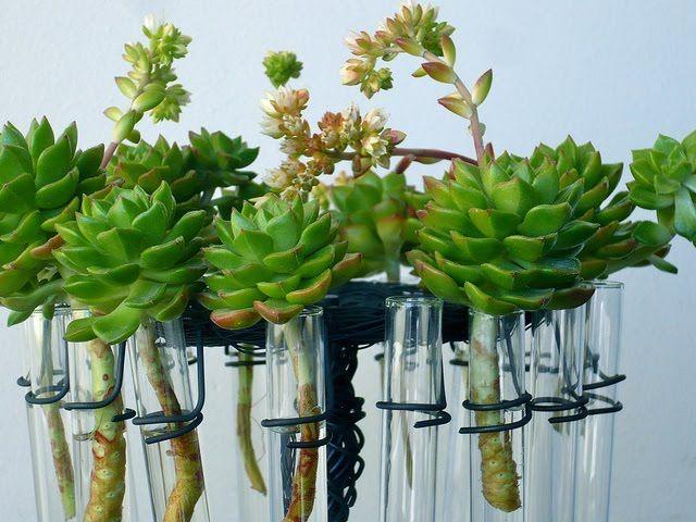 Plantas en tubos de ensayo | Plantas, Suculentas, Propagación de ...