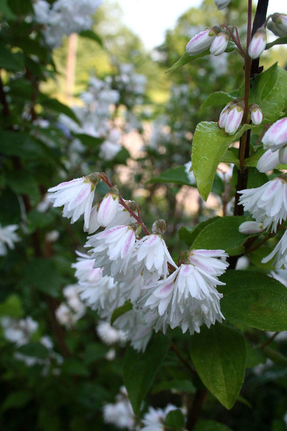 White Flower Bushes Pics Yahoo Search Results Gardens