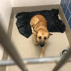 Katie Jo Pug Rescue Pugs Labrador Retriever