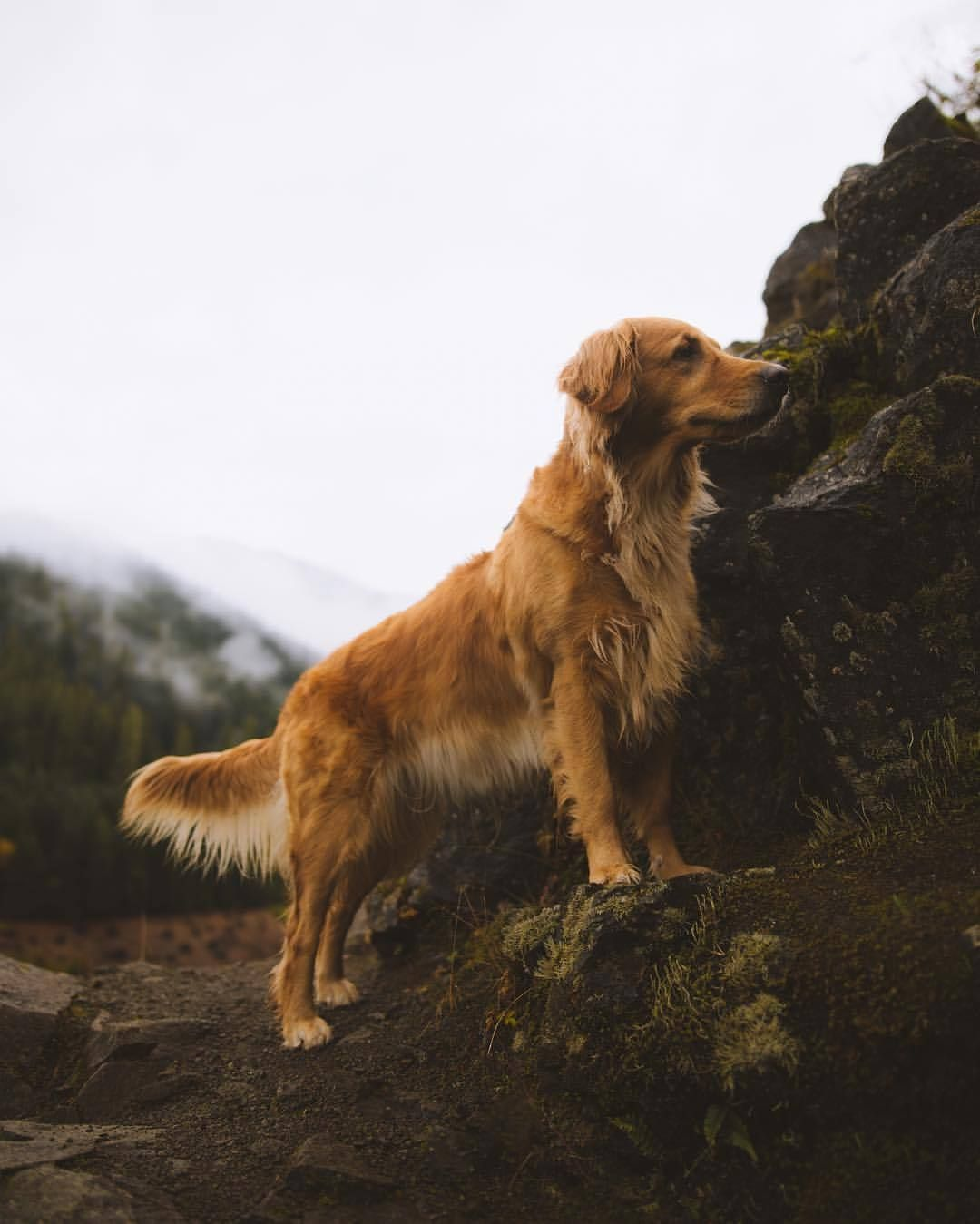 Bean Boots and Bacardi Dogs, Golden retriever photography