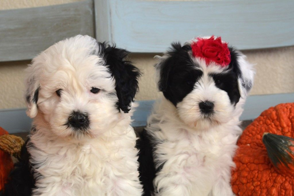 Mini Sheepadoodle Mini Sheepadoodles Once Upon A Doodle