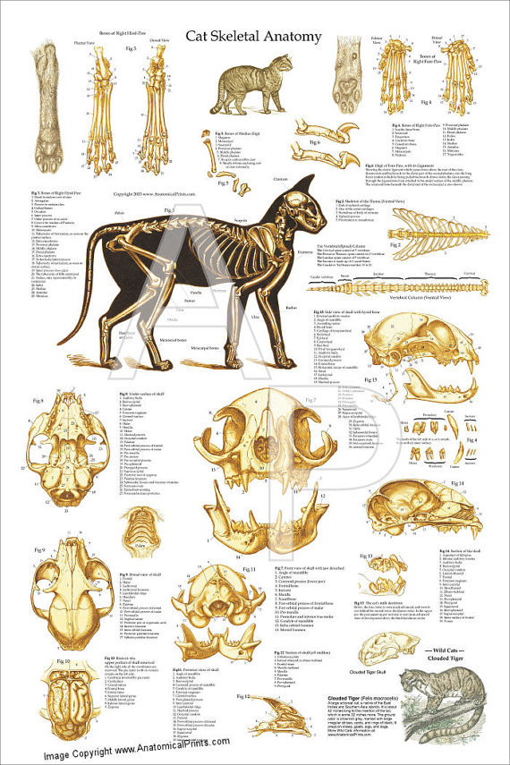 Cat Skeletal Anatomy Poster Wall Chart - 24\