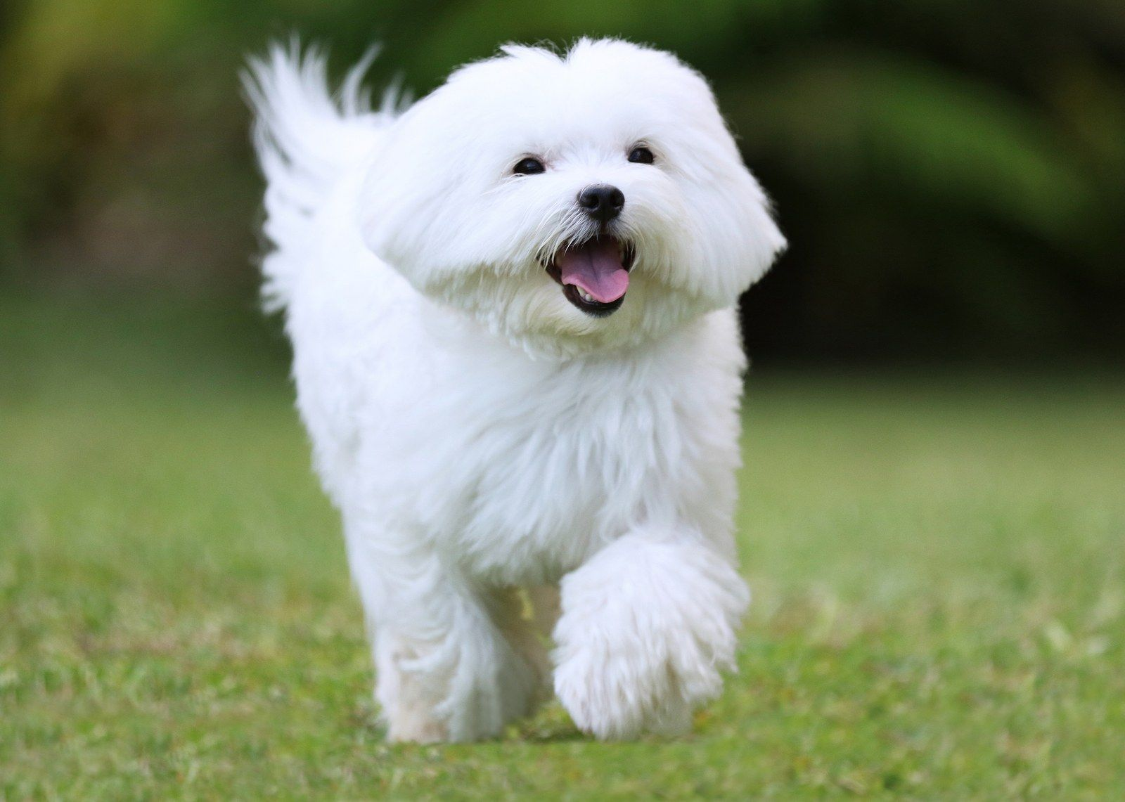 Small White Dog Breeds 5 Of The Best Dog Breeds Maltese Dog