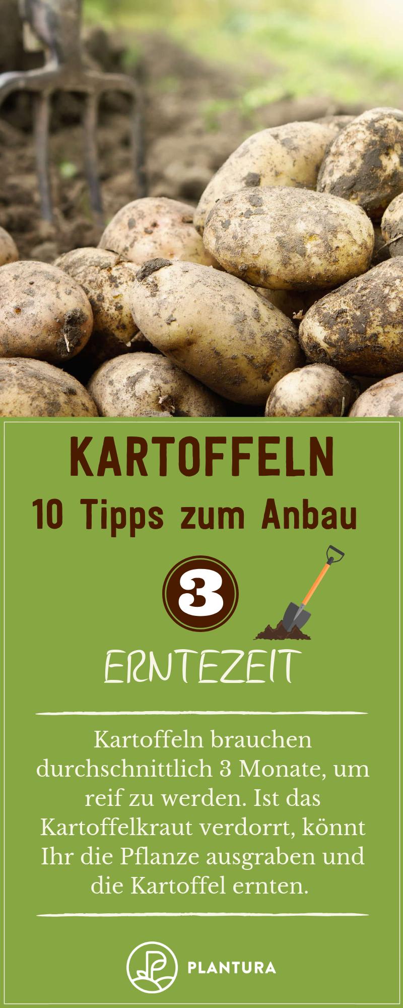10 Tipps Fur Den Kartoffelanbau Im Eigenen Garten Plantura Erntezeit Kartoffelanbau Ernte