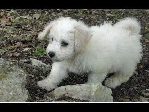 My Bichon Frise Keeps Pooping In The House Stop Your Bichon From