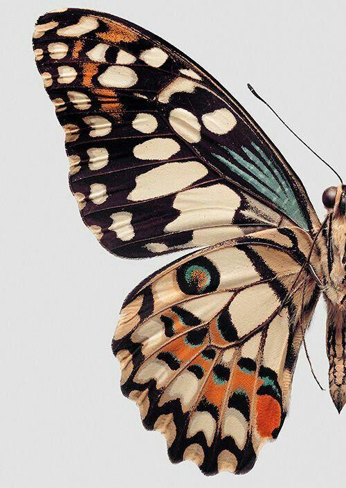 5x Real Swallowtail Schmetterling Wings Charms für Jewel Makings Sammlungen