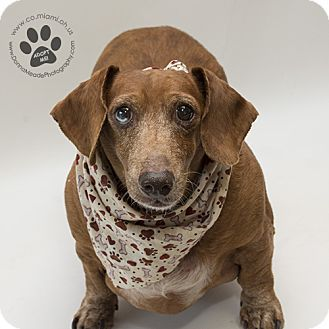 Urgent I Am At A Full Kill Shelter In Troy Oh Dachshund