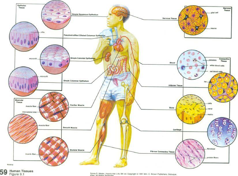 Human Tissue | Human Tissues | Health & Fitness that I love ...