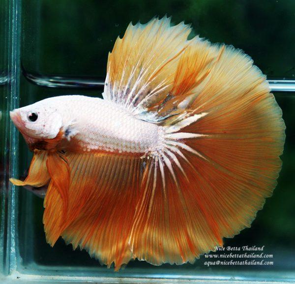 Nice Betta Thailand Co Ltd Betta Fish For Sale Siamese Fighting Fish In 2020 Betta Siamese Fighting Fish Betta Fish