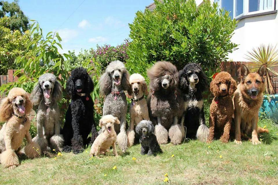 Poodliez Animals Dogs Poodle