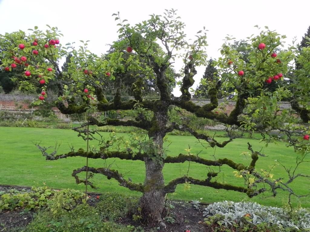 Returning To Tudor Times At Kentwell Hall And Gardens Long Melford Suffolk Fruit Garden Fruit Trees Espalier Fruit Trees