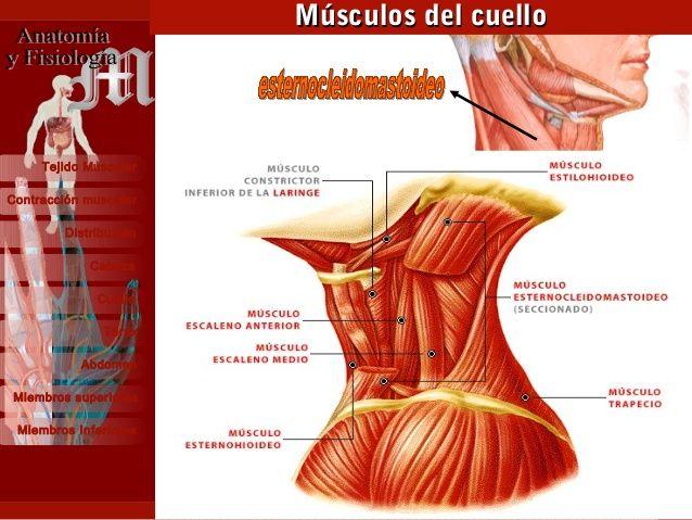 Sistema Muscular 15 Contracción muscular Distribución Cabeza Cuello ...