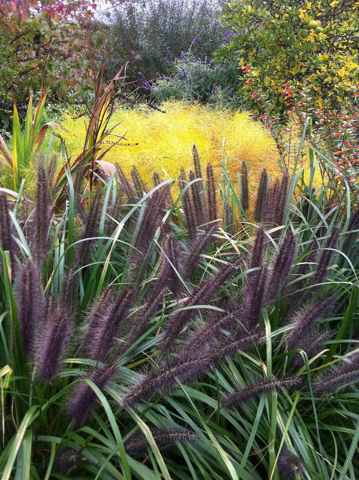 Short ornamental grasses - Mouldry Grass Black Dark Purple Ornamental Grass Short