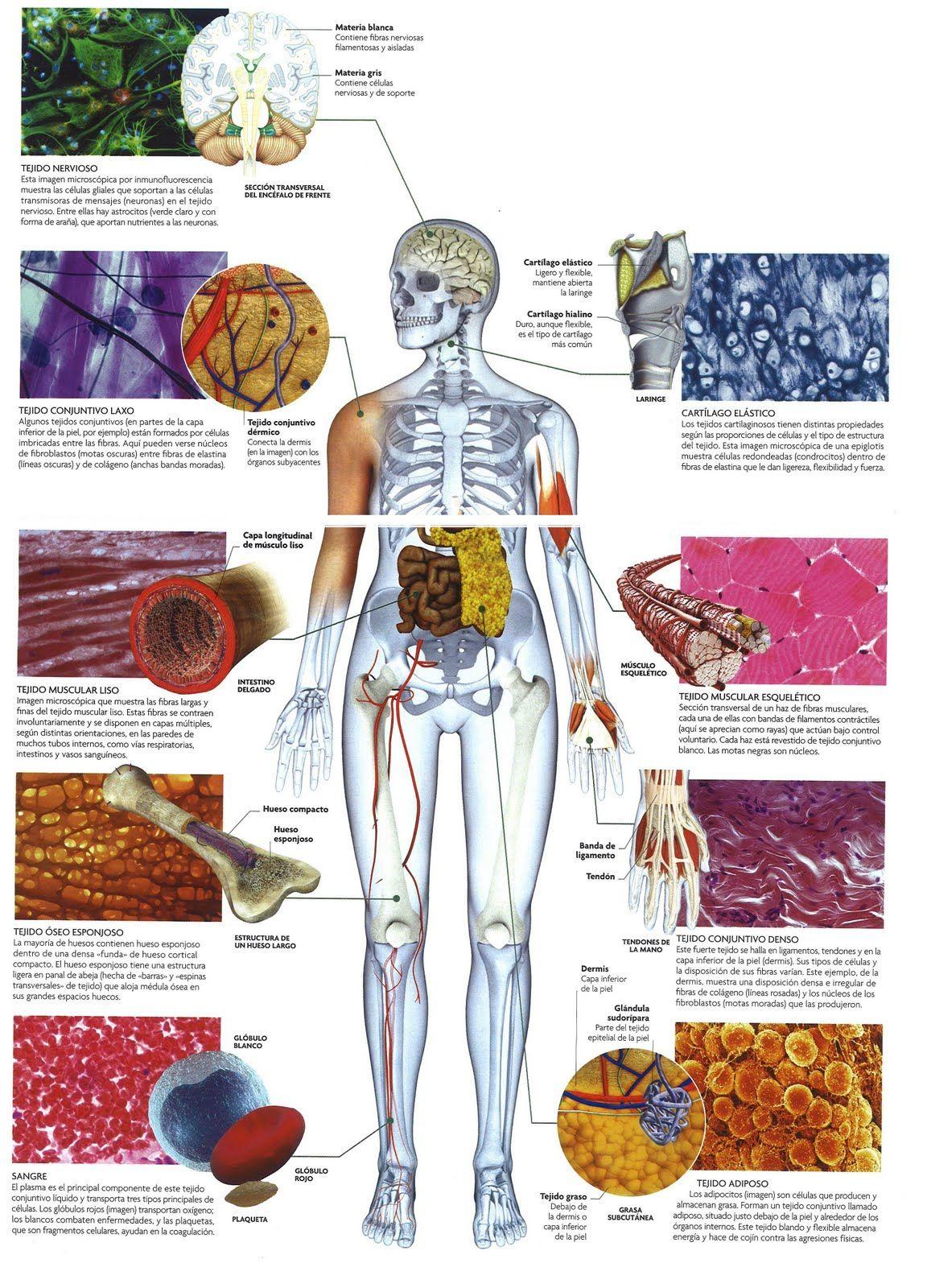 Tejidos del cuerpo humano | Anatomía Humana | Pinterest | School