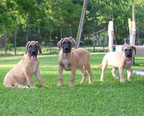 Video Akc Great Dane Fawn Puppies Health Guarantee Great Dane