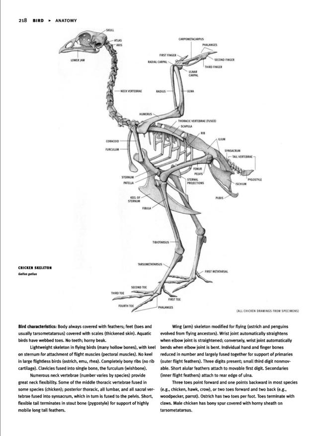 Chicken skeleton | Resources - Animals | Pinterest | Skeletons