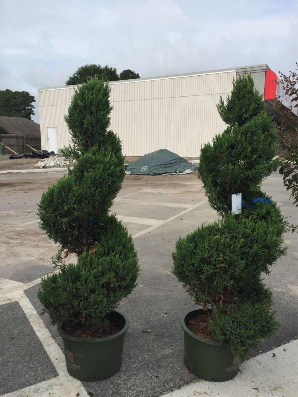 Beautiful Spiral Junipers Over 10 Years Old!!! Here At Atlantic Garden  Center!