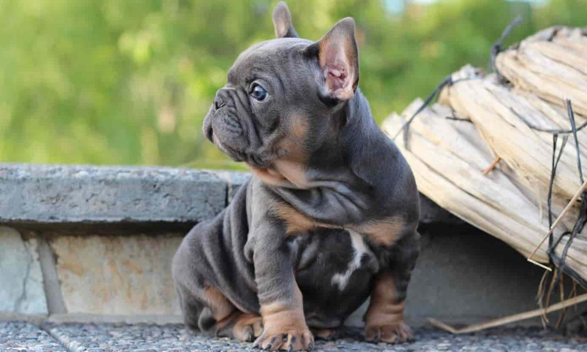 Looking For French Bulldogs For Sale Visit At