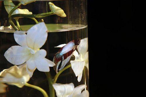 Beta Fish & Orchid centerpiece   Melissa Wedding April 2013 ...