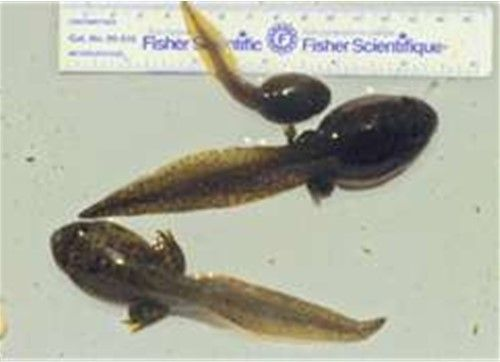 Live tadpoles for sale farm raised bullfrog buy tadpoles for Live pond fish for sale