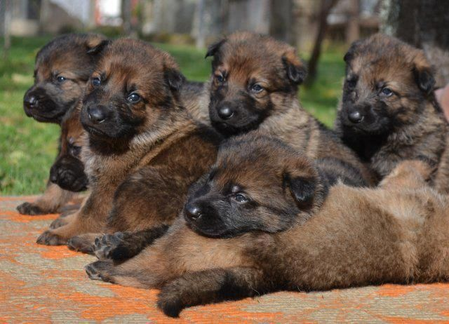 photo from The German Shepherd Dog Community.