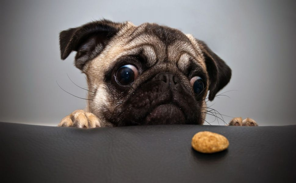 Pug Staring At A Cookie Hd Wallpaper Cute Pugs Pug Puppies Dog