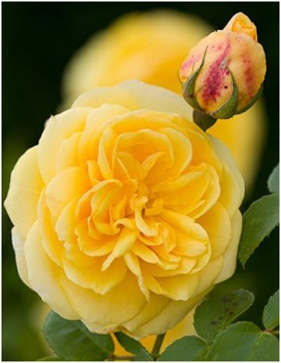 Top 10 Most Beautiful Yellow Roses Awesome Views Yellow Roses