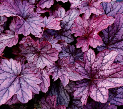 This reblooming Heuchera has the reputation for withstanding rugged winters, so you know the tight mounds of lustrous, silvery purple foliage will keep their good looks throughout the garden season.