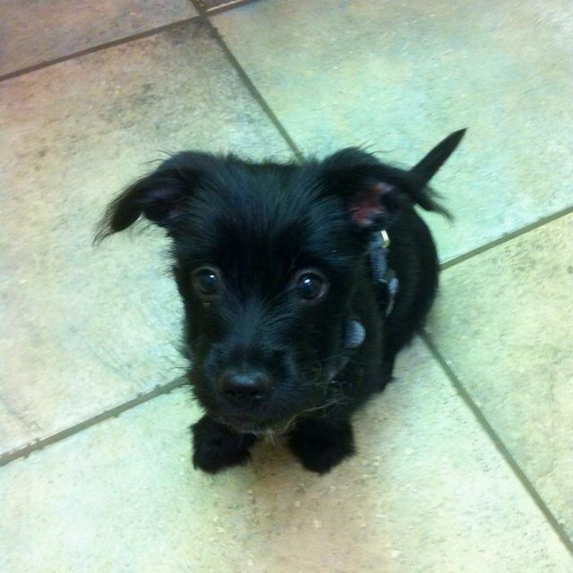 Yorkie Puppies For Sale In Scottsdale Az