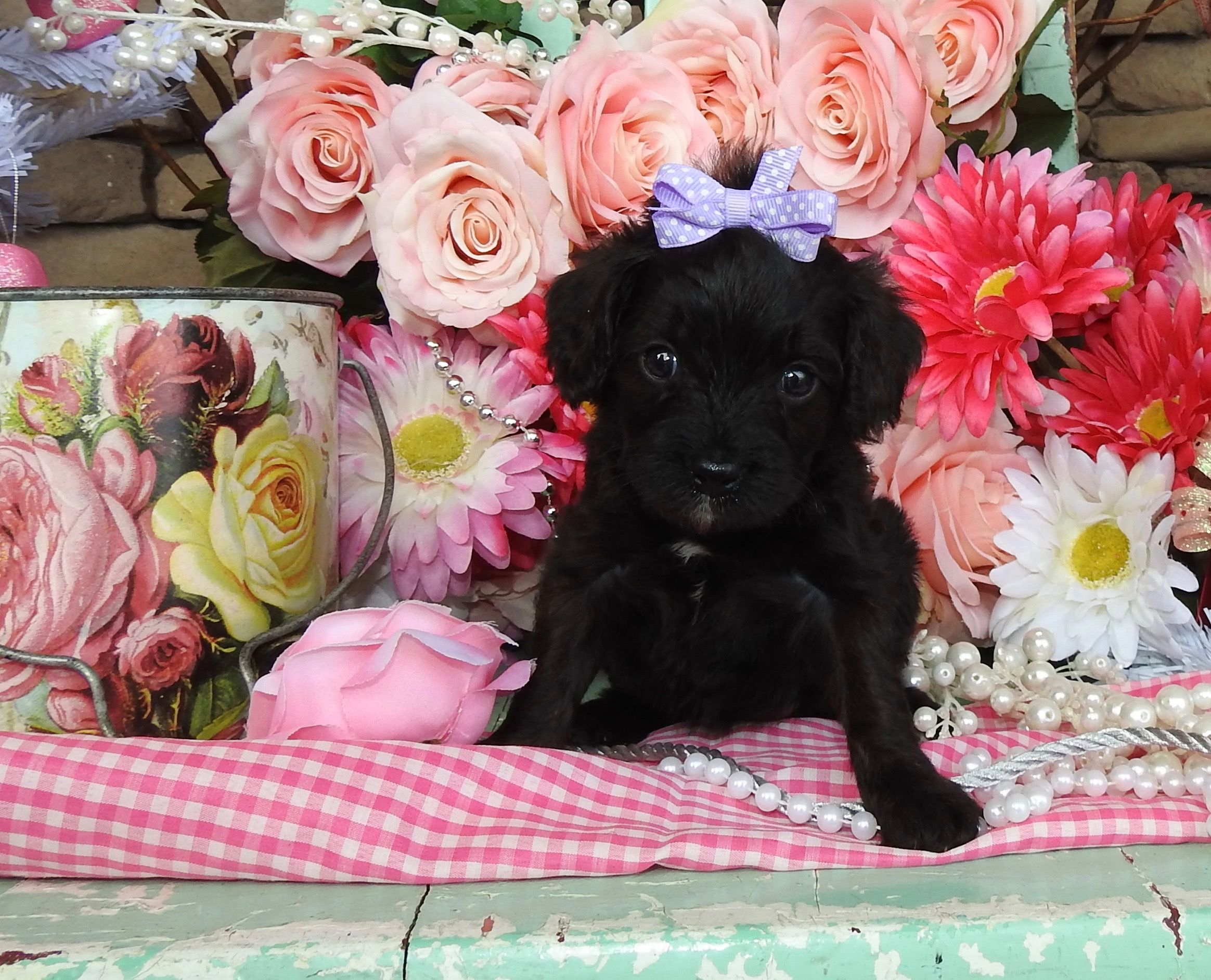 Shichon puppies for sale in indiana - Cavapoo Puppies For Sale Cavapoo Cavapoos Cavapoo Dog Cavapoo Pups Cavapoo