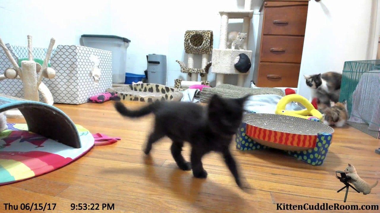 Harlequin Kittens Night Time Play Time 6 15 17 Kittens Kitten Cuddle Kitten Rescue