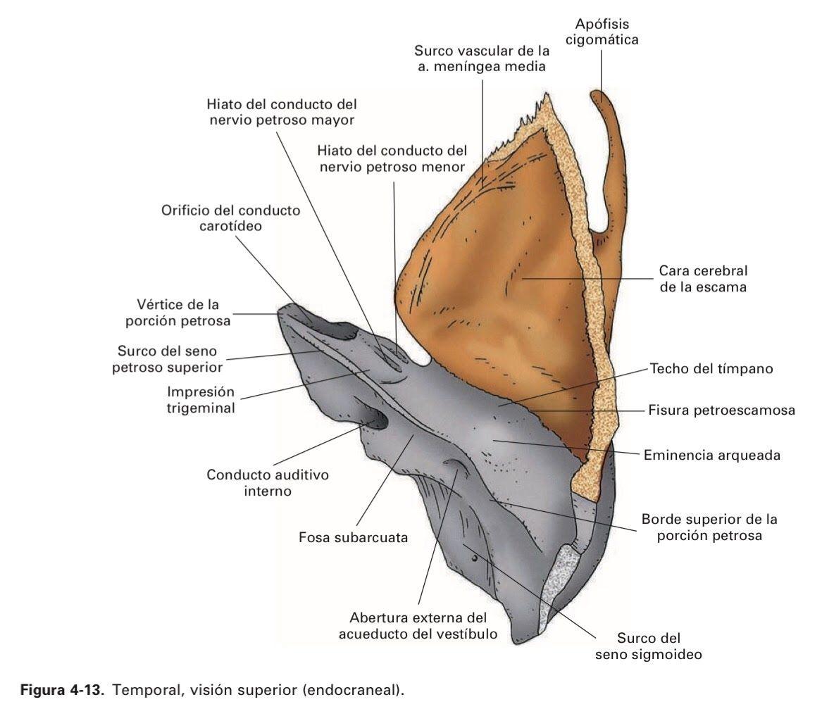 4. Huesos del cráneo - Anatomia del SN   huesos   Pinterest   Huesos ...