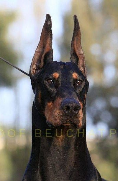 Another Great Head Shot Of Jet Ch Foxfire All Star Doberman