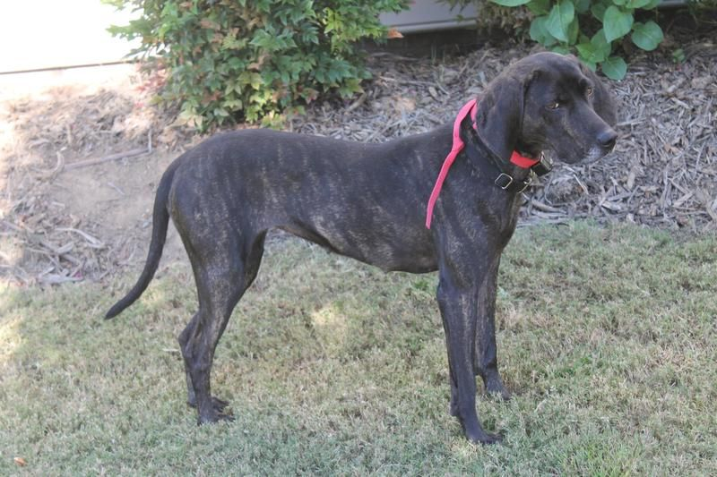 Adopt Links On With Images Plott Hound Animal Rescue Animals