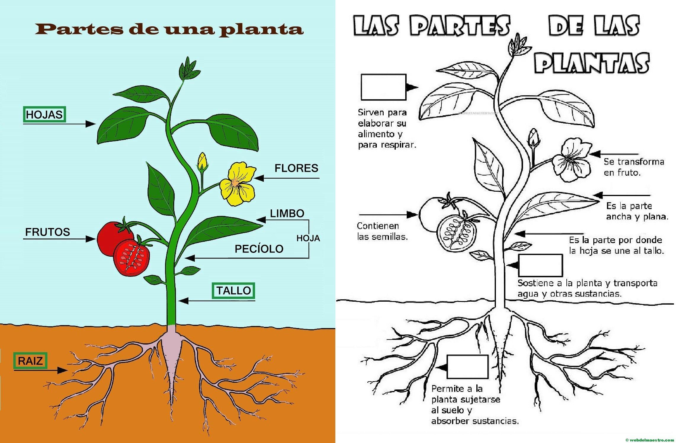 Partes de una planta para niños de Primaria | proyectos infantil ...