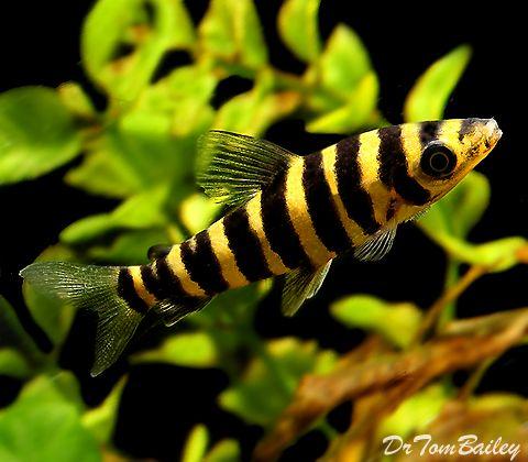Oscar, red tail catfish, clown knife fish, leporinus, 155 gallon ...
