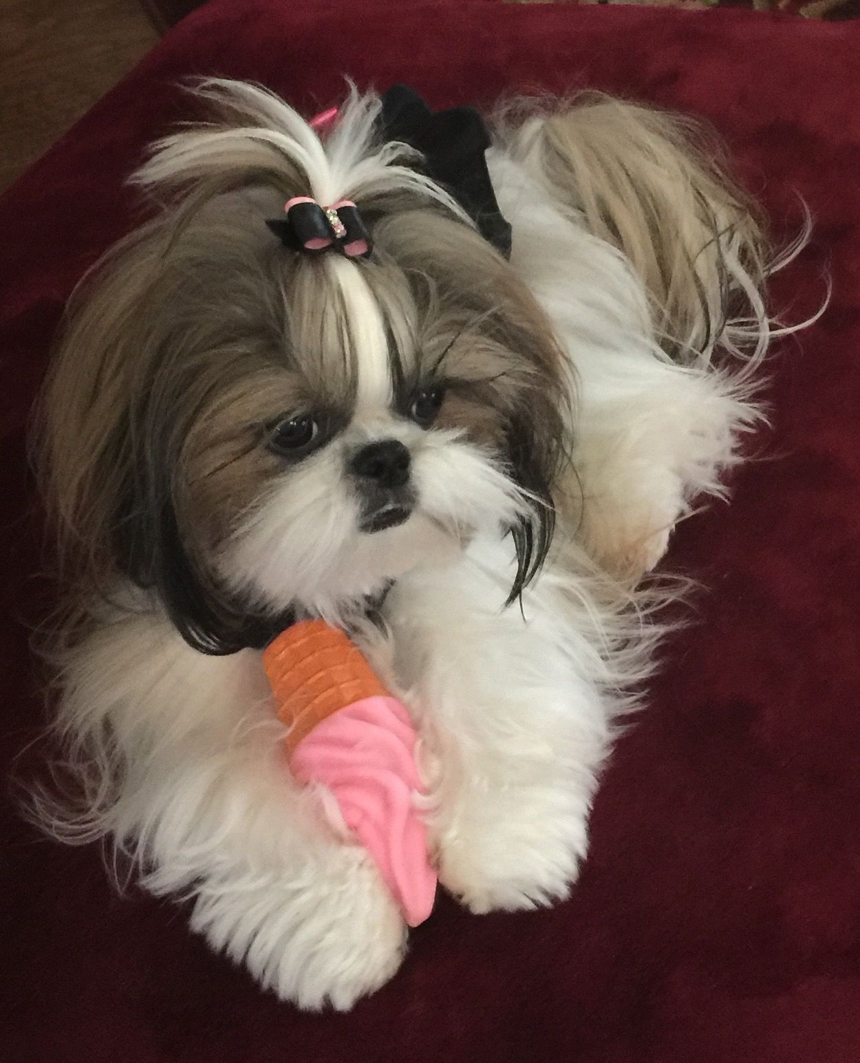 Shih Tzu Affectionate And Playful Shih Tzu Pinterest Shih
