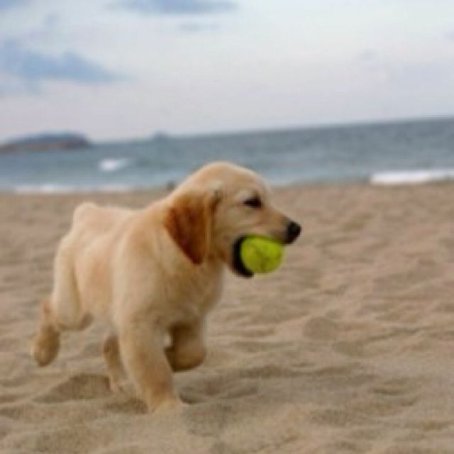 Love The Beach Puppies Retriever Puppy Animals Cute Puppies