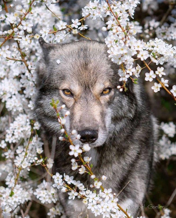 можно волки красивые картины фото мадлен поддержала