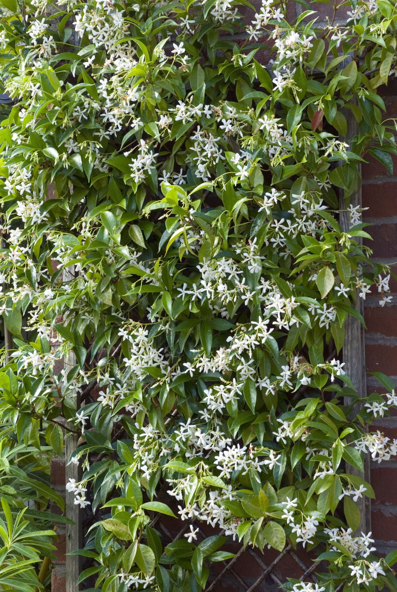 12 fast growing flowering vines for your garden for Fast growing fence covering plants